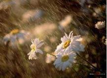 hoa cuc